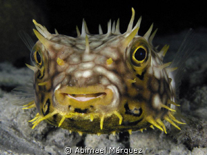 Web Burrfish, nigth dive, Bonaire. by Abimael M&#225;rquez 